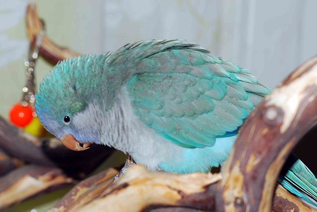 quaker parrot blue mutation