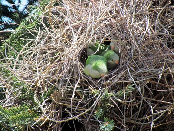 quaker parrot breeding nest