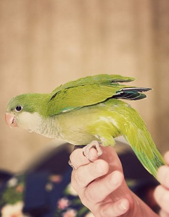 quaker parrot training