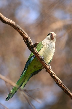 original green quaker parrot color