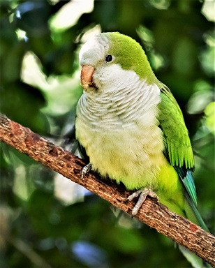 quaker parrot similarily with quaker clothing