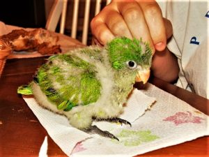 quaker parrot baby cost
