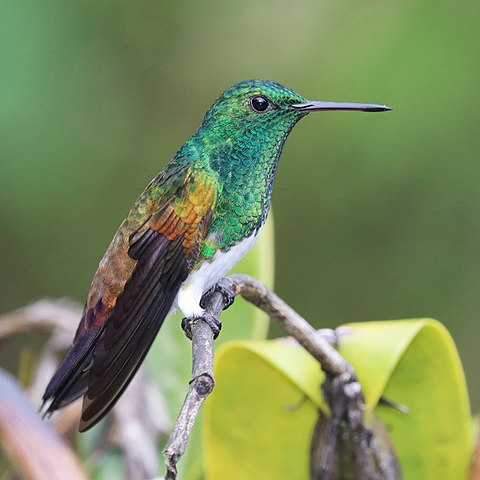 480px-Snowy-bellied_hummingbird_(Amazilia_edward_niveoventer)_1