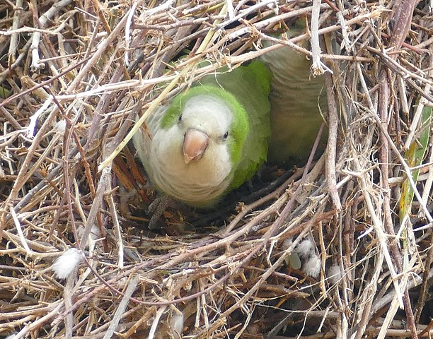 quaker parrot in nest