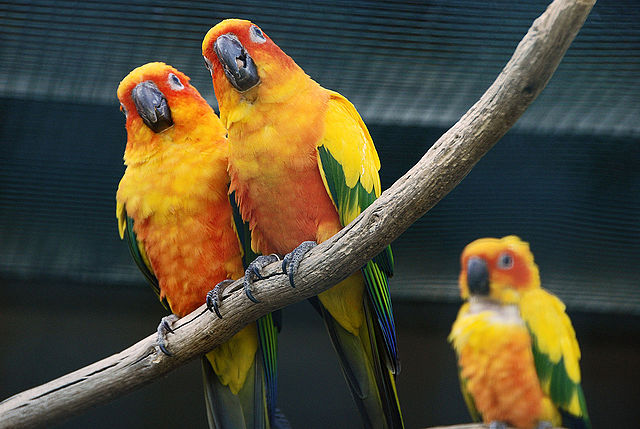 640px-Aratinga_solstitialis_-Vogelpark_Walsrode-8a