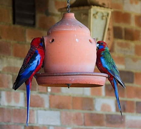 Crimson_Rosella_Platycercus_elegans_-on_feeder-2c