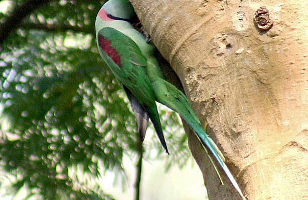 Alexandrine_Parakeet-_Male_at_nest_-CREDIT-J.M.Garg_-1