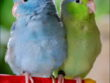 Female_Blue_and_Male_Green_Pacific_Parrotlets