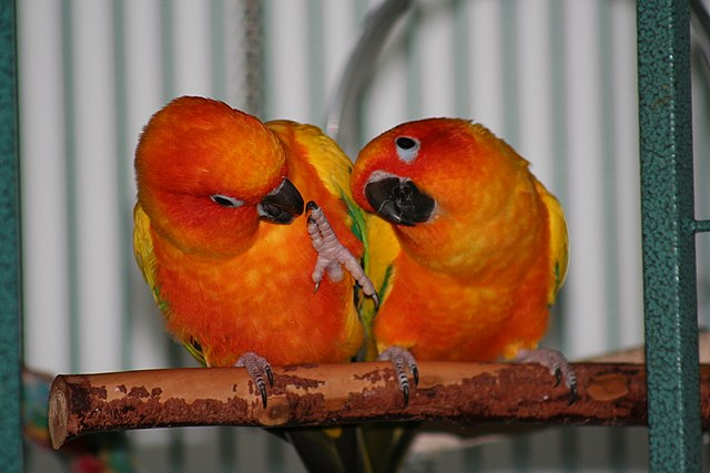 Sun Conure Gender Difference
