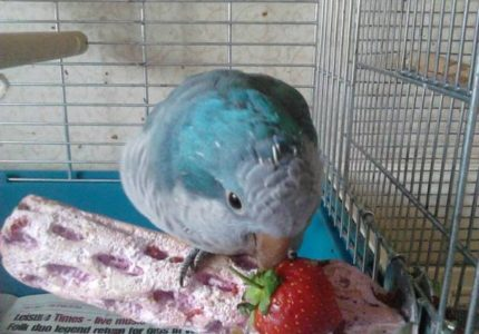 quaker parrot strawberries