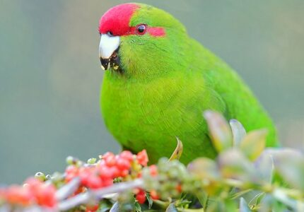 569px-Kakariki_eating_berries