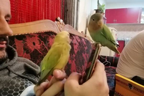 Tame Lovebirds