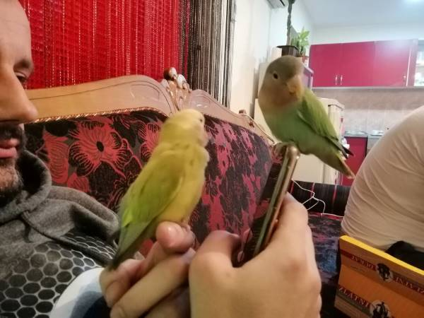 Tame Lovebirds resting with human