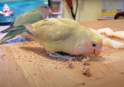 Lovebird eating millet Close Up