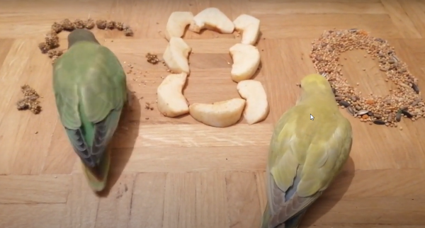Lovebirds eating apple fruit